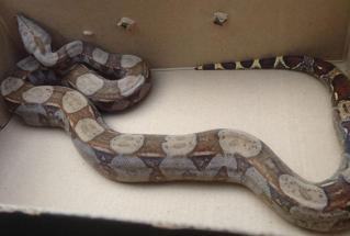 Cobra é capturada em farmácia de Mesquita